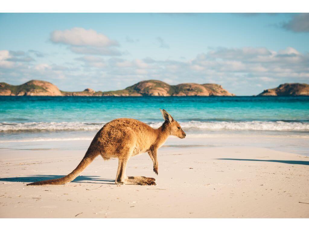 canguro-kangaroo-island-australia