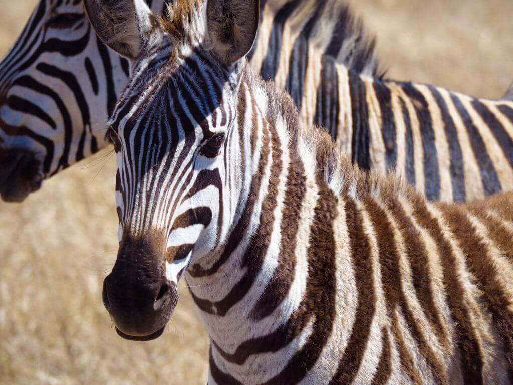 cebras-kenia-2