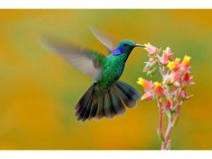 colibrí-costa-rica