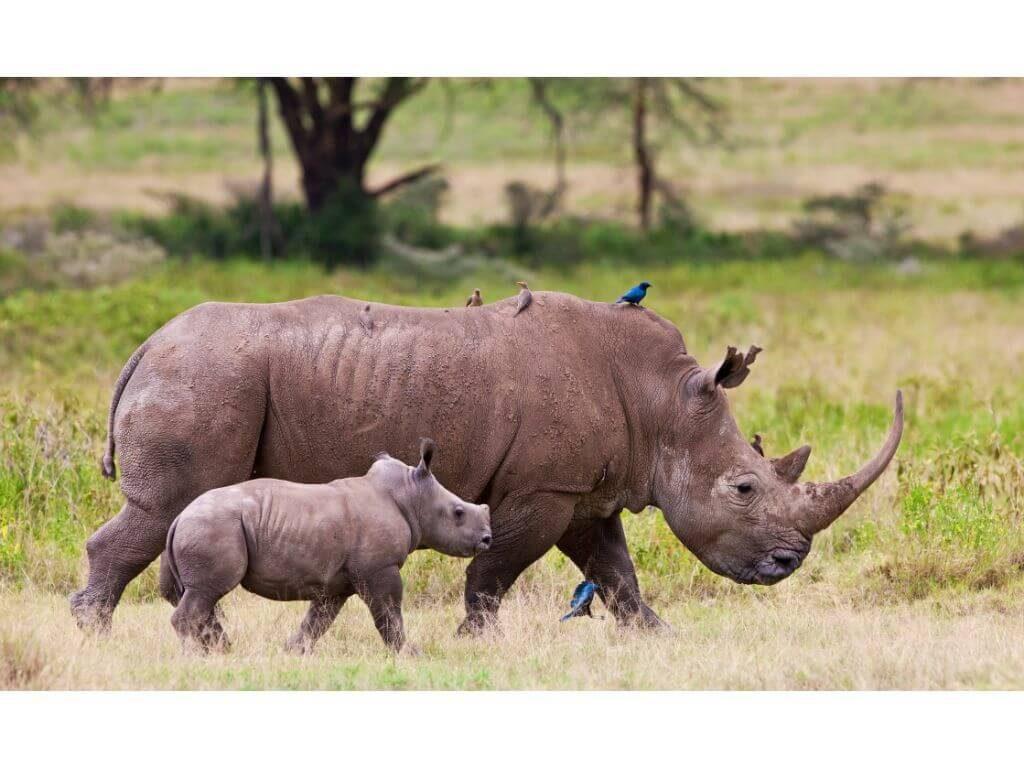 rinocerontes-baby-kenia